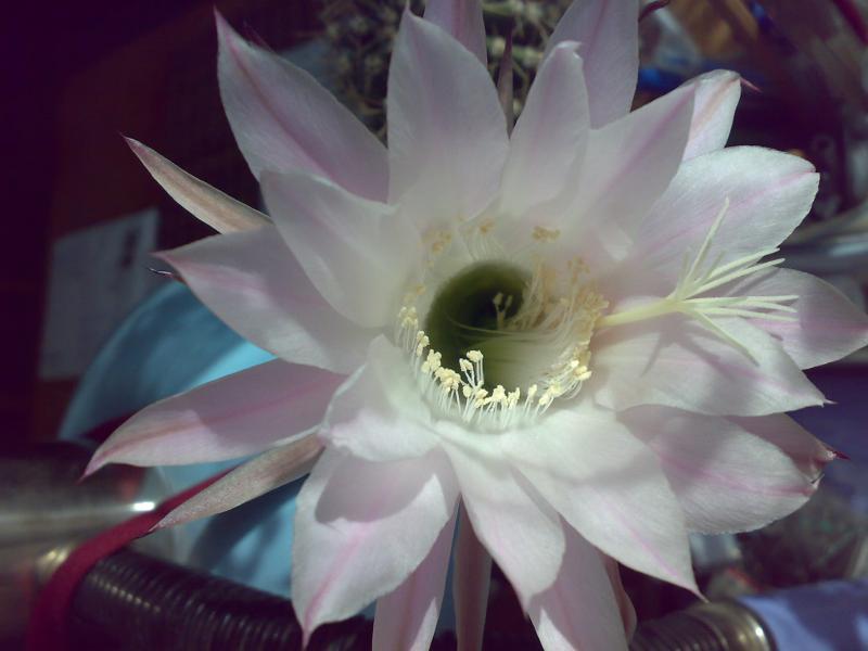 уход за домашним мини кактусом
